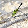 EasternPondHawk(female)-SawgrassIsland-6-23-19-SJS-001