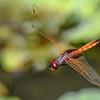 HyacinthGlider(male)-Circle-B-BarReserve-6-12-19-SJS-002