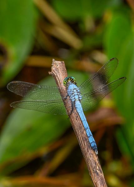 EasternPondHawk(male)-OaklandNaturePreserve-6-14-19-SJS-001
