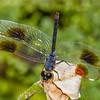4-SpottedPennant(male)-SawgrassIsland-6-25-19-SJS-002