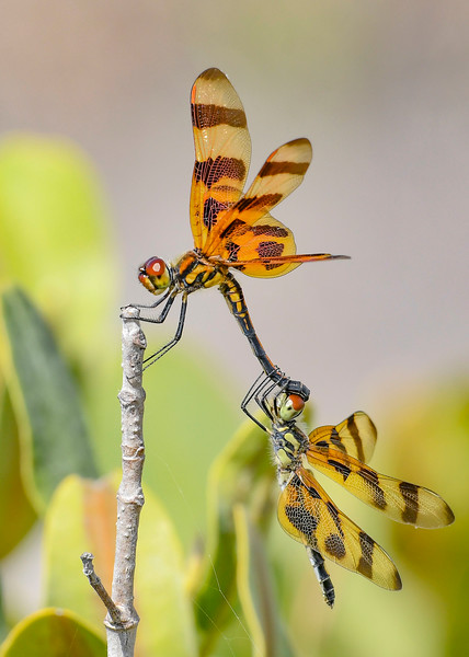 HalloweenPennants(mating)-MerrittIslandNWR-3-22-20-SJS-002