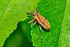 Weevil-LAWD-8-10-18-SJS-002