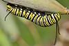 MonarchCaterpillar-LYE-12-1-18-SJS-012