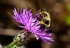 Bumblebee-Knapweed-sjs-2015-003