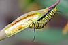 MonarchCaterpillar-LYE-12-1-18-SJS-007