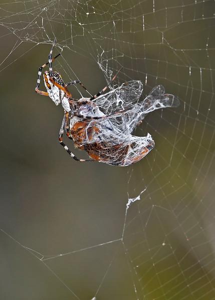 OrbWeavingSpider&Cicada-OcalaNF-9-4-18-SJS-003