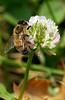 HoneyBee-03