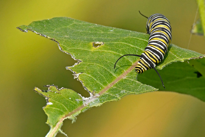 MonarchCaterpillar-Ohio-9-17-17-SJS-02