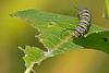 MonarchCaterpillar-Ohio-9-17-17-SJS-02