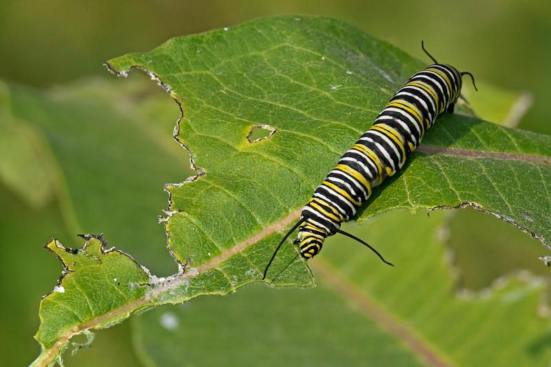 MonarchCaterpillar-Ohio-9-17-17-SJS-01