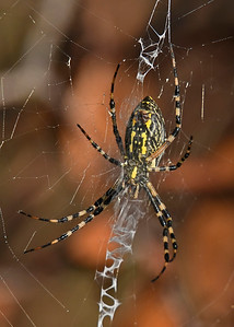 Black-YellowGardenSpider-CircleB-Bar-FL-11-7-17-SJS-001