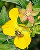 HoneyBee-PrimroseWillow-EmeraldaMarsh-3-24-20-SJS-001