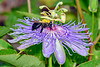 BumbleBee&PassionFlower-PearPark-7-10-19-SJS-001
