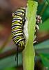 MonarchCaterpillar-LYE-12-1-18-SJS-002