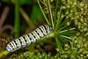EasternblackSwallowtailCaterpillar-OaklandNP-7-10-19-SJS-002