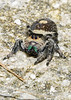 RegalJumpingSpider(male)-PineMeadows-11-7-20-sjs-08