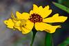 YellowCrapSpider-BokTowerGardensFL-8-21-18-SJS-002