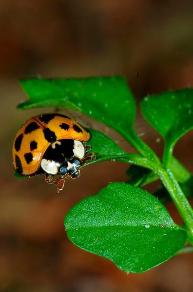 AsianLadybug-01