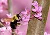 Bumblebee&Redbud-03