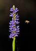 Pickerelweed&Bee-CorkscrewSwampNaplesFL-11-18-17-SJS-004