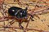 OxBeetle(male)-OcalaNF-9-9-18-SJS-003