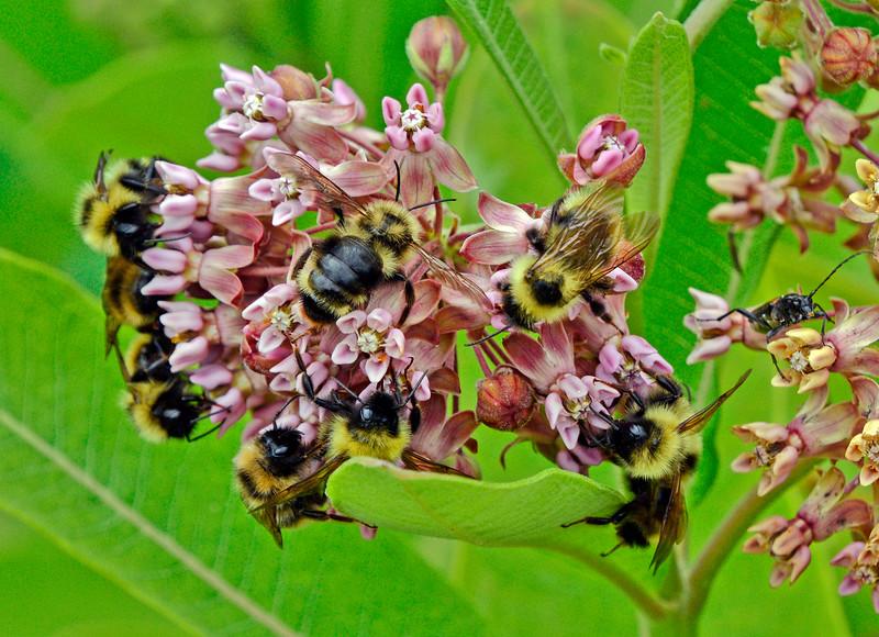 BumbleBees-Milkweed-sjs-2015-002