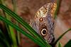Owl-UF-ButterflyRainforest-2016-SJS-001