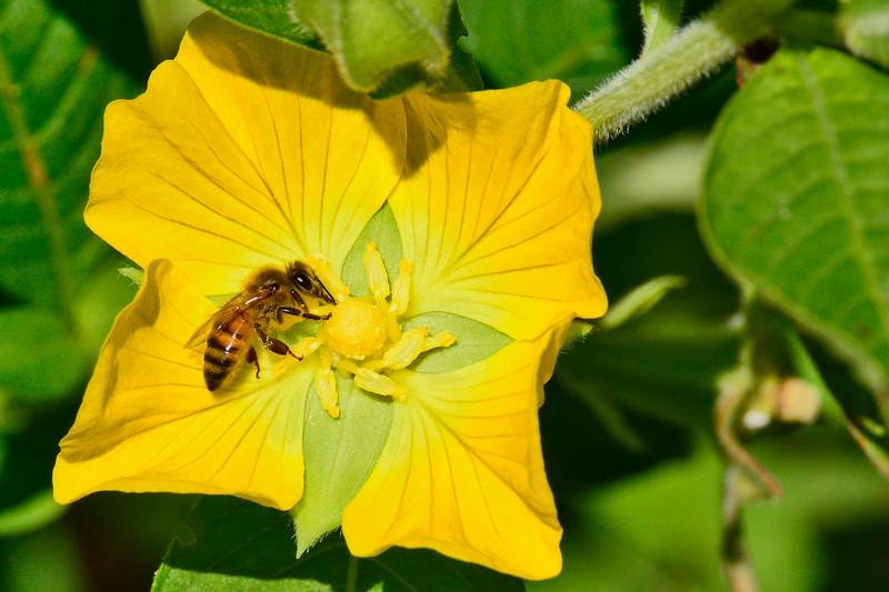 Honeybee-PrimroseWillow2016-SJS-003