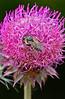 Bumblebee-NoddingThistle-sjs-2015-003