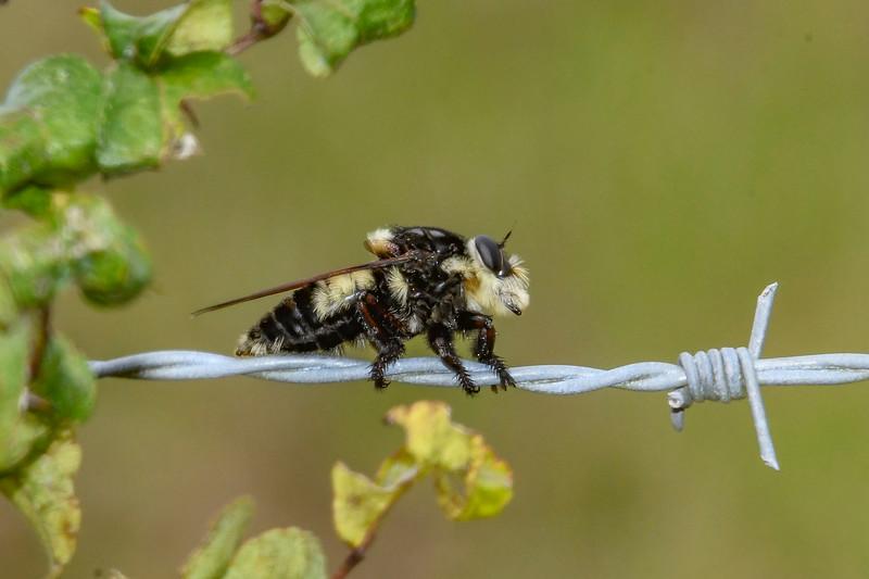 Robberfly-SawgrassIslandPreserve-9-13-19-SJS-004