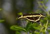 GiantSwallowtail-EmeraldaMarsh-3-3-19-SJS-002