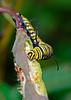 MonarchCaterpillar-LYE-12-1-18-SJS-001