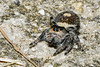 RegalJumpingSpider(male)-PineMeadows-11-7-20-sjs-09