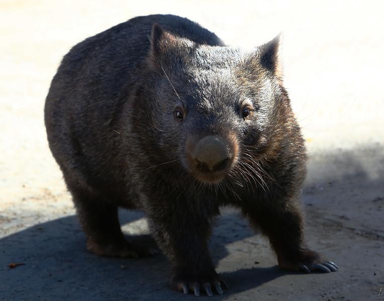 Wombat (Marsupial)