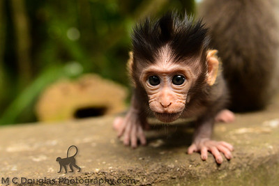 Curious Baby Macaque