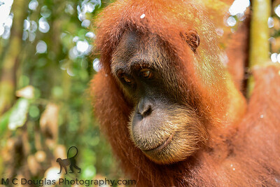 Female Orangutan deep in thought