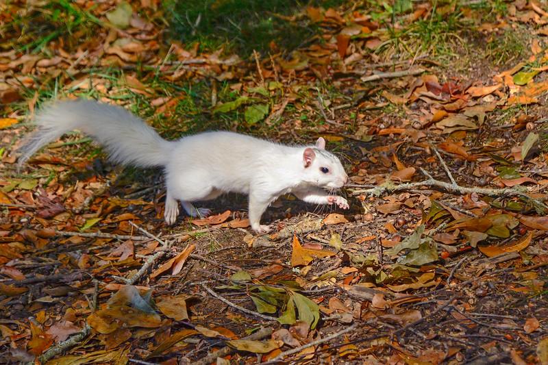 WhiteSquirrel-BrevardNC-11-3-18-SJS-38