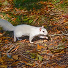 WhiteSquirrel-BrevardNC-11-3-18-SJS-38