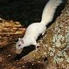 WhiteSquirrel-BrevardNC-11-3-18-SJS-14