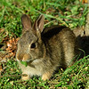 EasternCottontail506-03