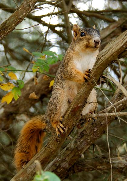 FoxSquirrel-2008-04