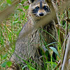 Raccoon-TroutLakeEustisFL-4-12-17-SJS-002