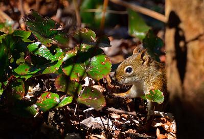 RedSquirrel2015-sjs-002
