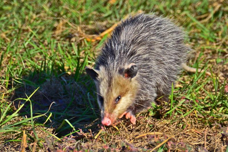 Opossum2016-SJS-010