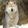 GrayWolf(Canis-lupus)-01