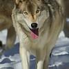 GrayWolf(Canis-lupus)-09