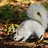 WhiteSquirrel-BrevardNC-11-3-18-SJS-03