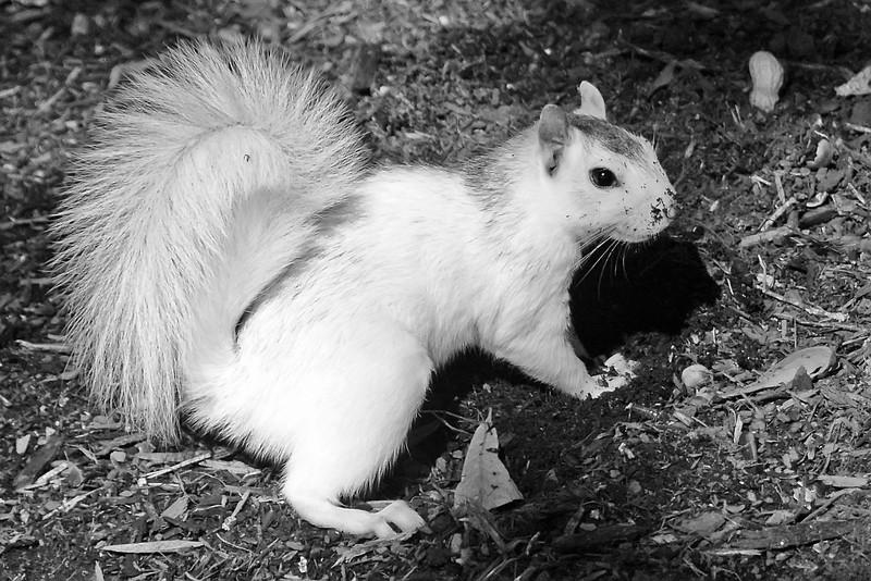 WhiteSquirrel-BrevardNC-11-3-18-SJS-32