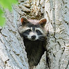 Raccoon-MM-5-16-17-SJS-002