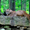 MountainLion-WVSWC2012-01